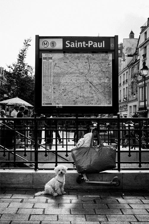 Le petit chien blanc de la station Saint Paul