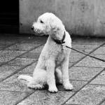 Milou sans Tintin