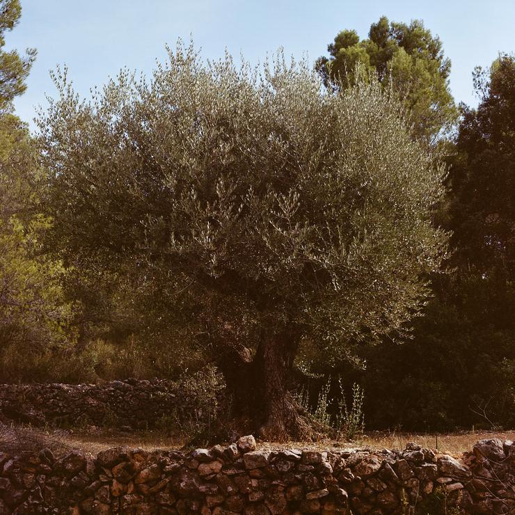 Le pays des oliviers