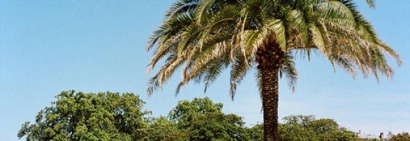 Le palmier est à l'honneur