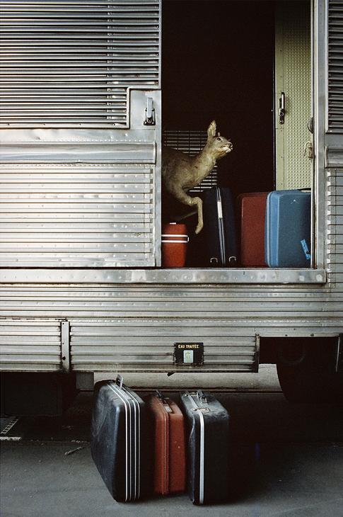 La biche et les valises