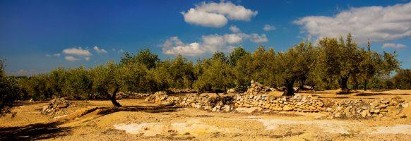 Sur le chemin des oliviers