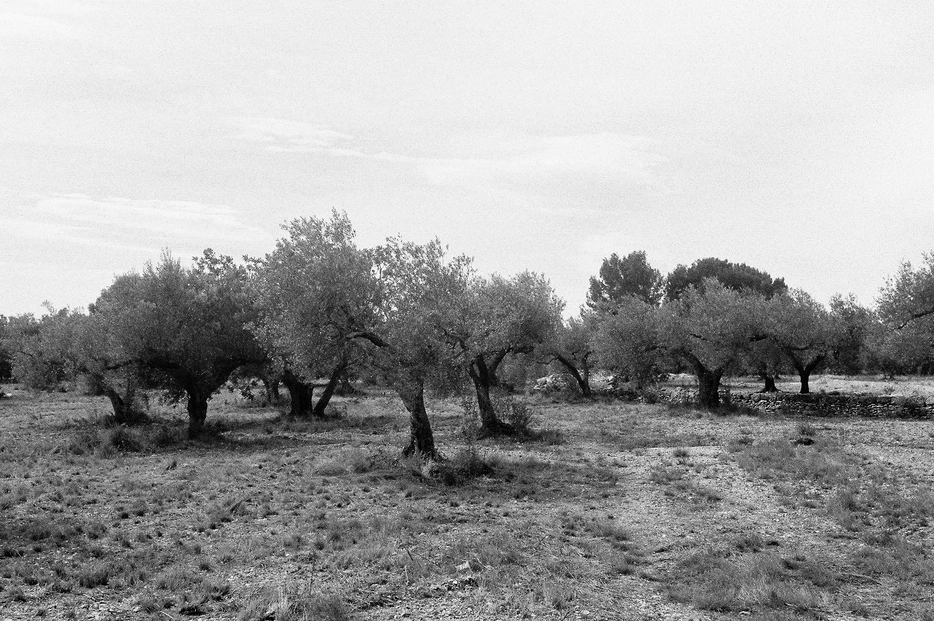 Le temps des oliviers