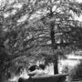 L'arbre qui murmure aux oreilles des amoureux